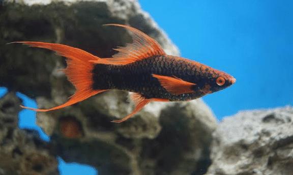Cara Awal Membudidayakan Ikan Pedang